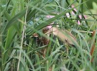 ヨシゴイその16(営巣場所はオオヨシキリも) - 私の鳥撮り散歩