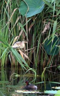 ヨシゴイその17(営巣場所はオオヨシキリも②) - 私の鳥撮り散歩