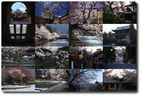 京都スナップ桜1 - 写楽彩2