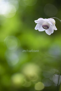 旅する蝶と森の妖精。 - MIRU'S PHOTO