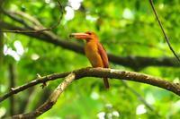 2020-140 アカショウビンの餌運びPart4 - 近隣の野鳥を探して2