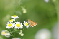 ヘリグロチャバネセセリ - Lycaenidaeの蝶鳥撮影日記