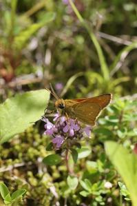 やっと見つけたアカセセリに苦戦 - 蝶超天国