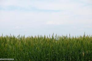 小麦がサワサワ~7月の美瑛 - My favorite ~Diary 3~