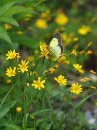 ミヤマモンキチョウ - 自然を楽しむ