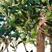 今年は豊作!〜オリーブ農園日記 vol.31 - 幸せなシチリアの食卓、時々にゃんこ