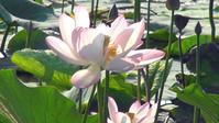 東金・八鶴湖の江戸ハス - 東金、折々の風景