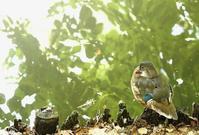 オシドリ - 北の野鳥たち