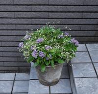 紫色のペンタスとダイアモンドフロストをシンプルに寄せ植え - ヒバリのつぶやき