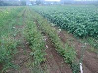 ジャガイモ試し掘り - 長福ファームのブログ