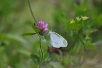 ヒメシロチョウ - Lycaenidaeの蝶鳥撮影日記