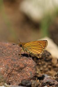 梅雨明けの炎天下でセセリを探す - 蝶超天国