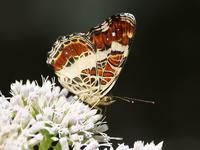 夏型のサカハチチョウとトラフシジミ - 風任せ自由人