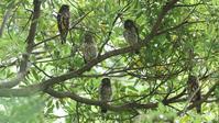 アオバズク家族を紹介します:まずは集合写真から! - Life with Birds 3