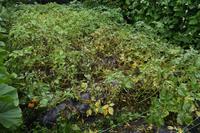 自然栽培ジャガイモの収穫あつー - 自然栽培 釧路日記