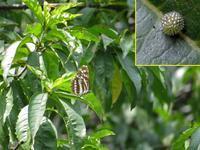 オオミスジ - 秩父の蝶