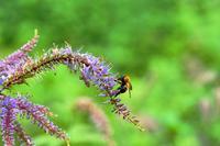 トラマルハナバチがクガイソウで蜜集め♪・・・赤城自然園 - 『私のデジタル写真眼』