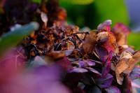 朽ちる紫陽花 - きずなの家創り