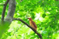 2020-141 アカショウビンの餌運びPart5 - 近隣の野鳥を探して2