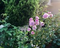お隣との芋虫、毛虫問題( ´Д`)y - 薪割りマコのバラの庭