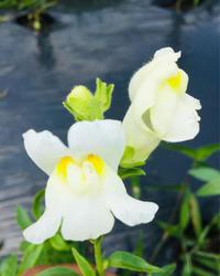 金魚草❗️ - 富士のふもとの農業日誌