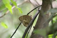 オオヒカゲ他 - Lycaenidaeの蝶鳥撮影日記