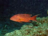 #537オジロバラハタ - ランゲルハンス島の海