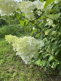 裏山のノリウツギ〜清楚な白い花〜 - CROSSE 便り