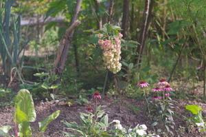 8月6日早朝撮影自宅の庭の花々 -