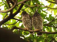あどけない・・・アオバズク雛ちゃん。 - 鳥見んGOO!(とりみんぐー!)野鳥との出逢い