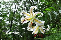 夏の匂い(ヤマユリ) - ジージーライダーの自然彩彩