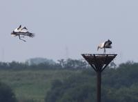 幼鳥、塔巣に戻る - ぶらり探鳥