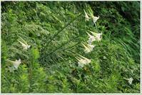 どっちを向いても「タカサゴユリ」 - ハチミツの海を渡る風の音