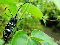 20200723今日の生きものゴマダラカミキリ - 中書島の自然