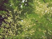 20200724植物暦エンジュ開花 - 中書島の自然