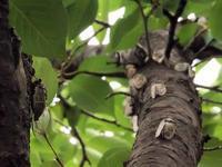 20200729自由研究クマゼミ大量発生 - 中書島の自然