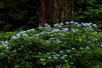 川上村・武木の小紫陽花 - 花景色-K.W.C. PhotoBlog