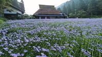 北山友禅菊 1京都市 - ty4834 四季の写真Ⅱ