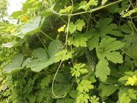ミョウガを収穫して、蜂に刺された - 自然農☆☆☆菜園日記