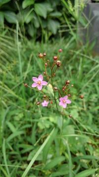 元気な雑草、ひび割れた庭 - ウィズコロナのうちの庭の備忘録~Green's Garden~