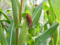 今年のトウモロコシ - 勉強、畑、ときどき野球