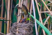 リベンジ!大葦切(オオヨシキリ)の給餌 - 野鳥などの撮影記録