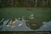 清水菅原神社の鯉 - Mark.M.Watanabeの熊本撮影紀行