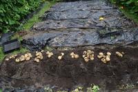 自然栽培ジャガイモの収穫が終了ジャガイモは健闘 - 自然栽培 釧路日記