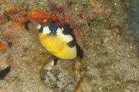 イソモンガラ幼魚 - Diving Photo web図鑑
