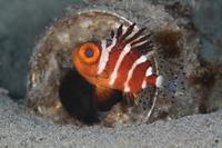 クルマダイ幼魚 - Diving Photo web図鑑