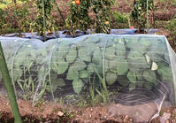 枝豆の収穫*グラミスの2番花 - my small garden~sugar plum~