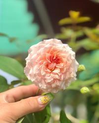 主人からのLINE(//∇//)とアナベルの返り咲き♡ - 薪割りマコのバラの庭