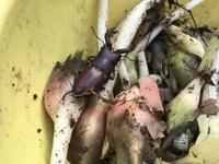ミヤマクワガタ - 赤城焼・陶器のねこと苔玉あそび.ハナイカダ探検隊