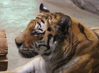 8月7日の円山動物園のアジアゾーンとオオカミ - 黄金絹毛鼠(コガネキヌゲネズミ)